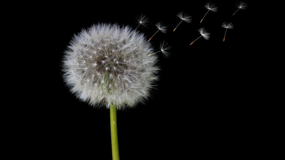 A photo of a dandelion against a black background with some of the seeds blowing away from the central pod